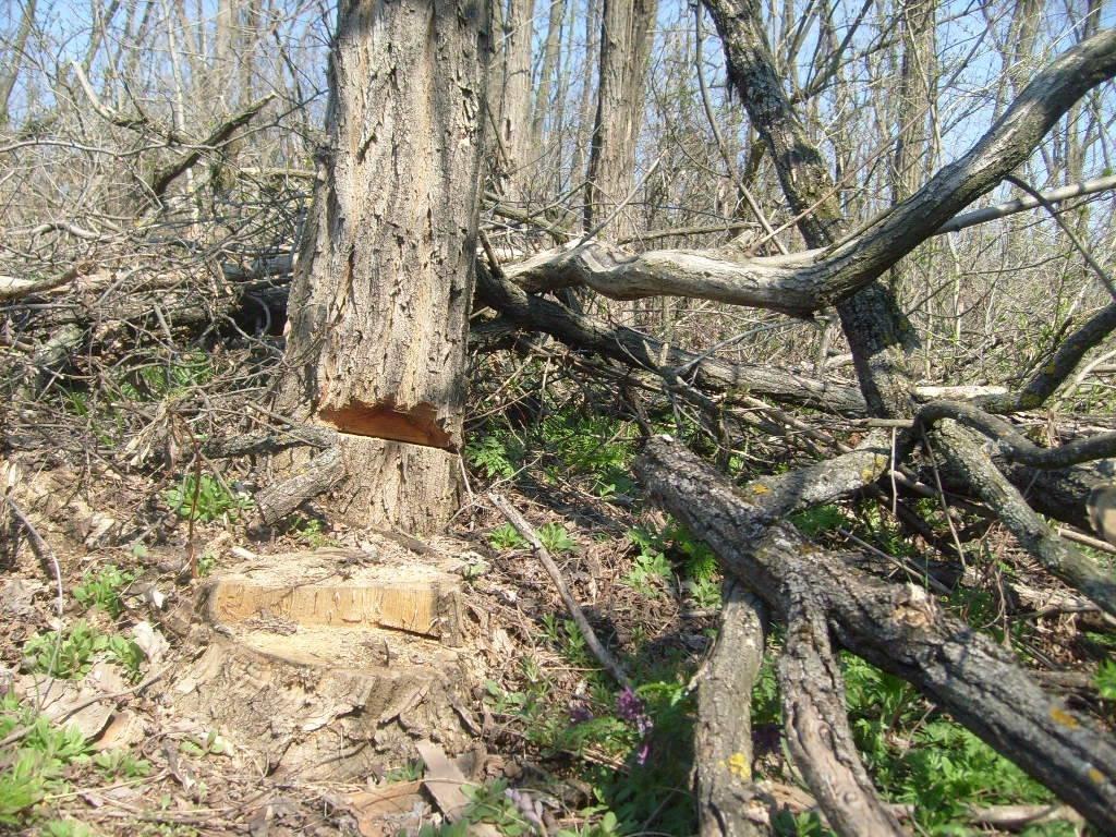 «Варварски вырублены деревья»: каменские экологи бьют тревогу, фото-5