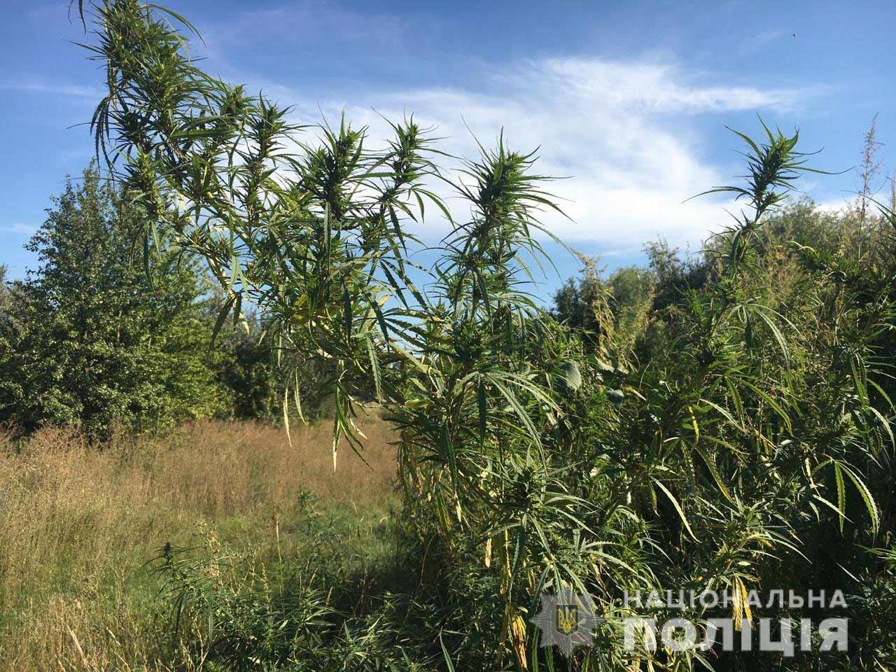 На Днепропетровщине обнаружили конопляную плантацию, фото-2