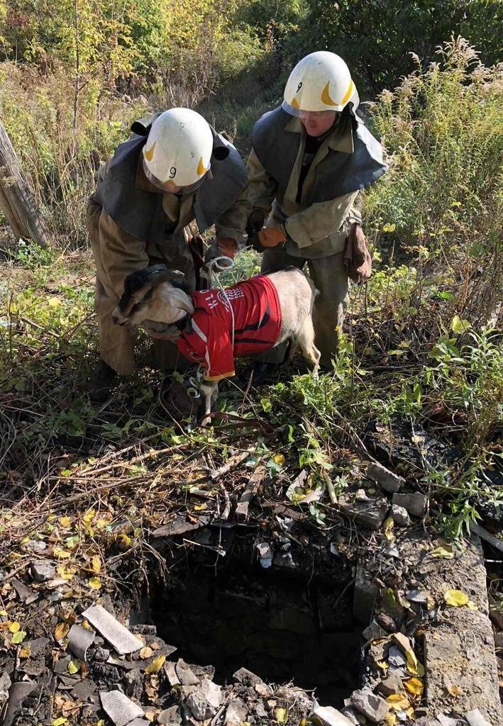 В Каменском коза провалилась в заброшенный погреб, фото-6