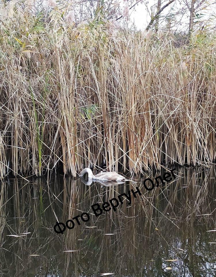 Возле Каменского рыбак нашел мертвых лебедей, фото-2
