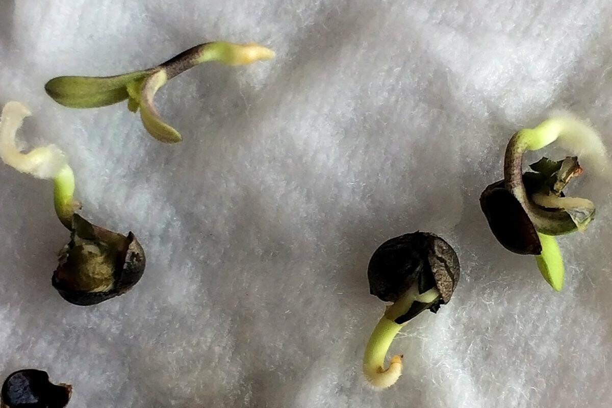 Как быстро всходят семена конопли конопля наркотик эффект